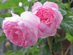http://www.kuan-china.com/wp-content/uploads/2013/09/ein-Schraubglas-voller-Rosenblüten.jpg